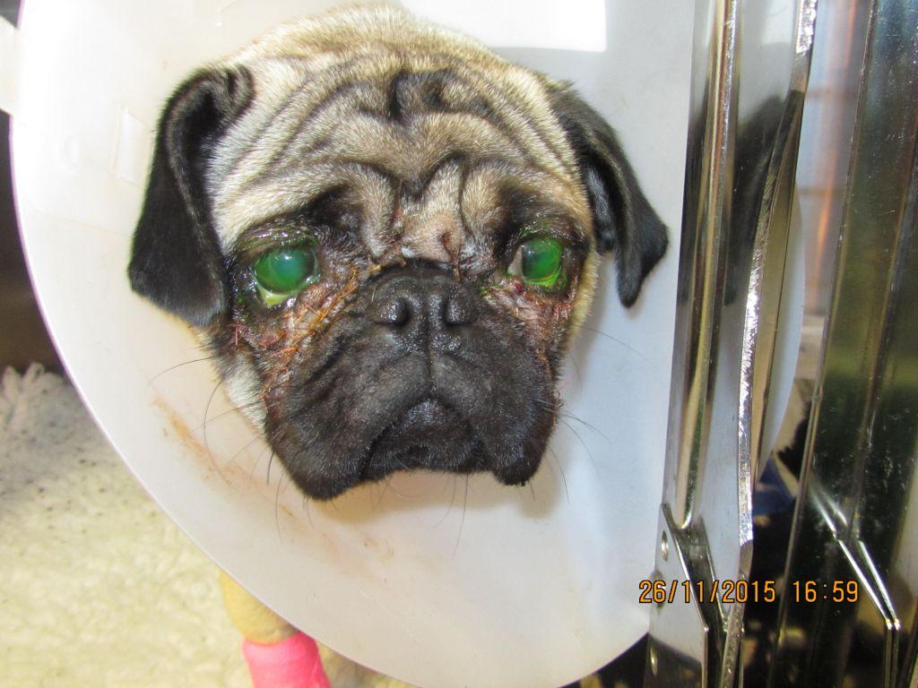 Pug surgery facial fold eye